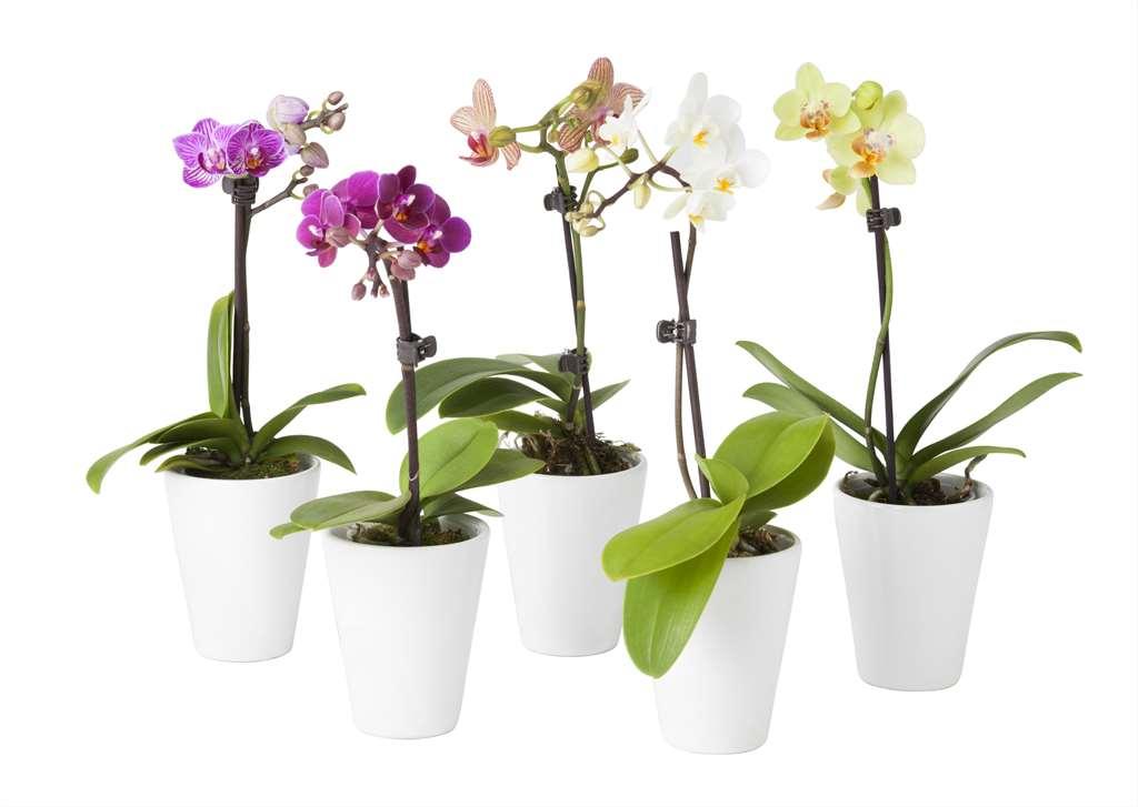 ikea_orchidea