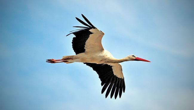 Dél-Afrikáig jutott vándorútján egy jeladós fehér gólya ...